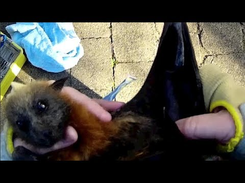 Rescuing a juvenile flying-fox hanging on a bollard:  this is Justine