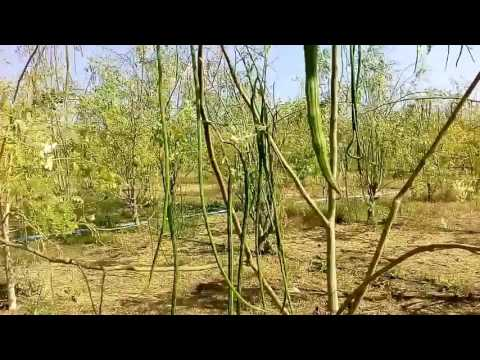 A visit to our Moringa farm Bhavnagar, Gujarat