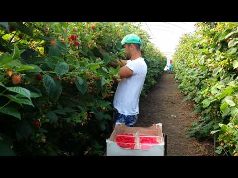 Fast way of Picking Raspberries!