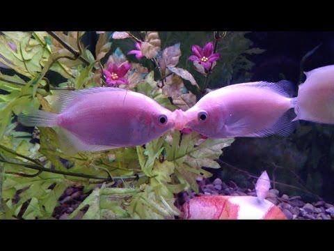 Fish Kiss And Make Up (original Video)