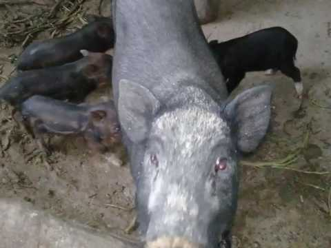 Cross breed wild pig into native pig