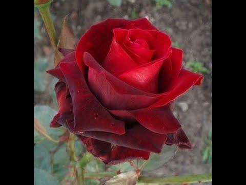 осенняя высадка роз, обзор сортов, роза норита. питомник роз полины козловой Rozarium.biz