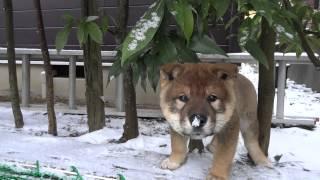 説明 雪の積もった朝。20150121の動画で「まるう」が走り回って垣根の隙...