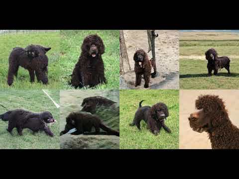 Generating Irish Water Spaniel with Deep Learning