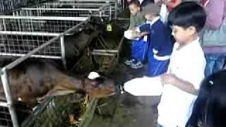 carlos@iemelief educ trip cow drinking milk!.3gp