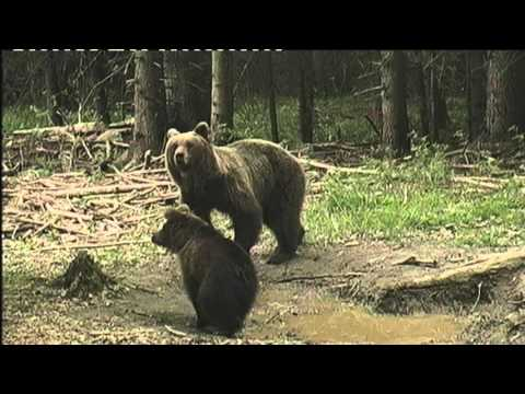 Kraljestvo medveda