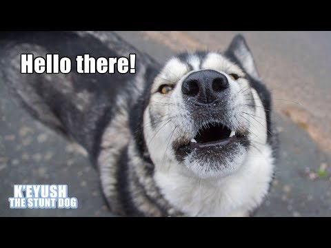 Husky Surprises Stranger By Saying Hello To Him On a Walk!