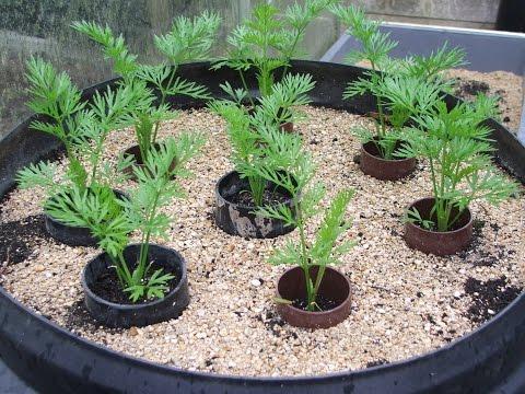 Как растет морковка