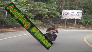 Anjing Pintar, Bonceng Motor Tanpa Di Ikat