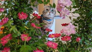 【OP撮影のミミちゃん】秘密の花園/花冠/シンバミミetc かわいいかわいいOP撮影時のミミちゃんをまとめました(=^x^=) 是非ご視聴ください♪ …
