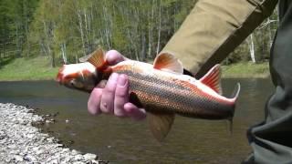 Рыбалка на горной реке. Июнь 2016г.(Рыбалка на горной реке. Ловля на спиннинг, поплавочную удочку на реках Дальнего Востока., 2016-06-07T01:11:43.000Z)
