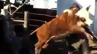 бешеный бык