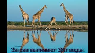Презентация про жирафа. Жираф. Африка. Презентация 3 класс.