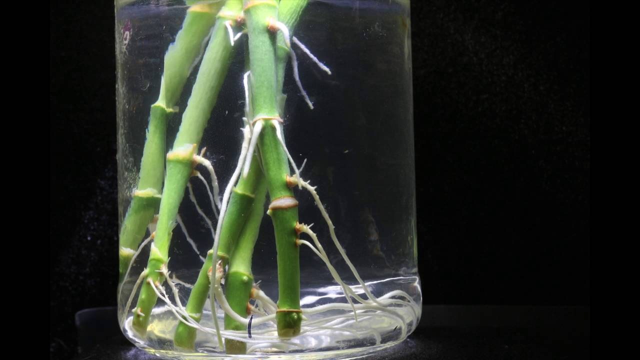 Lucky Bamboo Dracaena Sanderiana Water Rooting Time Lapse