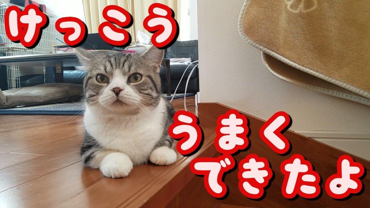 猫(マンチカン)とキャッチボールをしたら意外と成立したw -  I played catch with a Munchkin kitten -