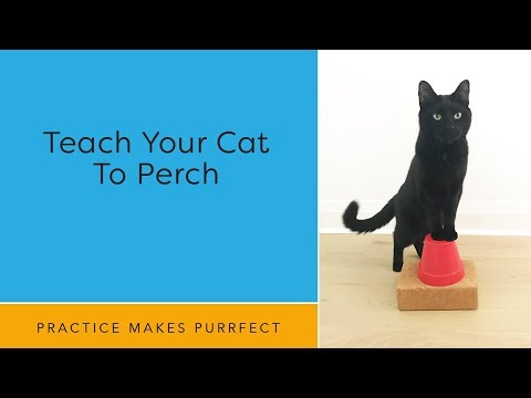 Cat training: Teach Your Cat To Perch