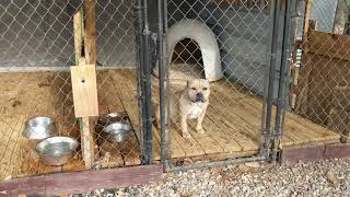 American Bully: Kennel start up and things to know