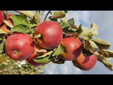 Apple Red Topaz   Яблоня ред Топаз