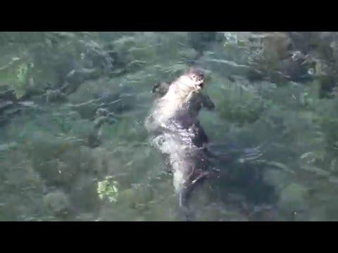 Hawaiian Monk Seals mating in the water 1-23-09 HD