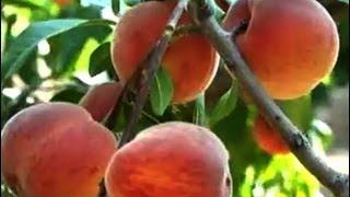 Şeftali Yetiştiriciliği - Şeftali Ağacının Budanması 9. Bölüm