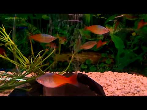 How To Care Guide: Rainbow Fish BEST SCHOOLING FISH