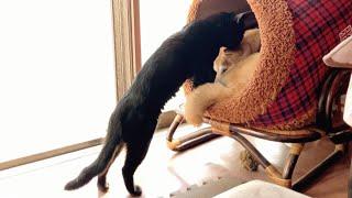 大好きな柴犬に毛づくろいする猫。最後は一緒に、、、Cat grooms dog