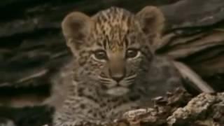 Дикая природа. Глаза леопарда . Документальный фильм National Geographic