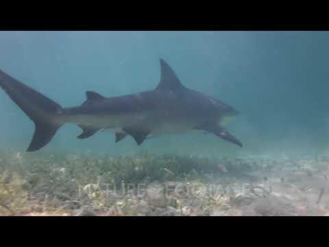 bull-shark-(carcharhinus-leucas)-approaches-camera-closely,-swims-away-to-scuba-diver