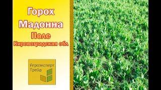 Горох Мадонна - поле в Кировоградской области Украина