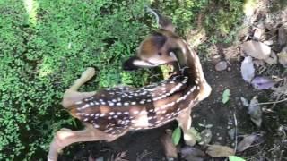 Newborn fawn in backyard