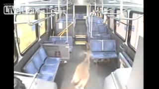 Везучий олень пробивает стекло автобуса(Олень неожиданно выскакивает перед автобусом и его сбивают, но везунчик пробивает стекло и оказывается..., 2013-05-16T07:57:01.000Z)