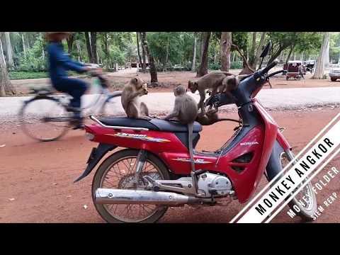 Monkey Angkor  Angkor Monkey  Funny Monkey