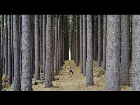 Laurel Hill Sugar pine forest