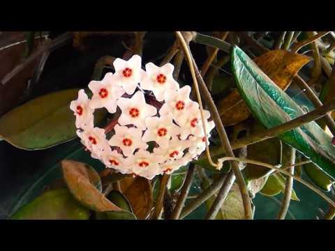 Flor de Cera, Hoya carnosa, Flor de porcelana, Cultivando vidas, Flores e jardim,