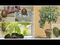 Mi planta de aguacate enana evolución y desarrollo