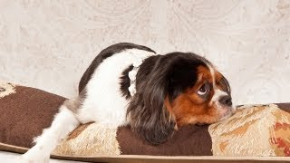 Cavalier King Charles Spaniel - C.S.Ling Photography Mini Photo Session : Kang Kang