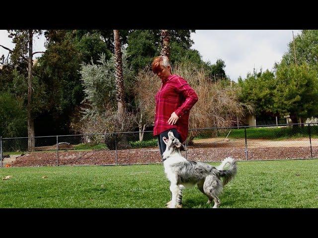 Training session flashy heelwork transitions - Dog Trick Training
