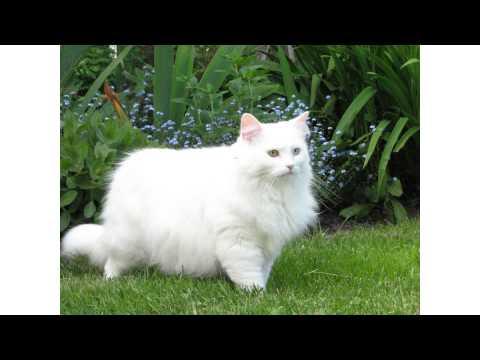 Fluffy white cat breeds YouTube