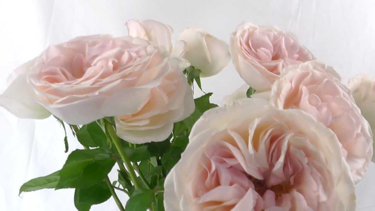 Prince jardinier garden roses youtube - Prince jardinier tomate ...