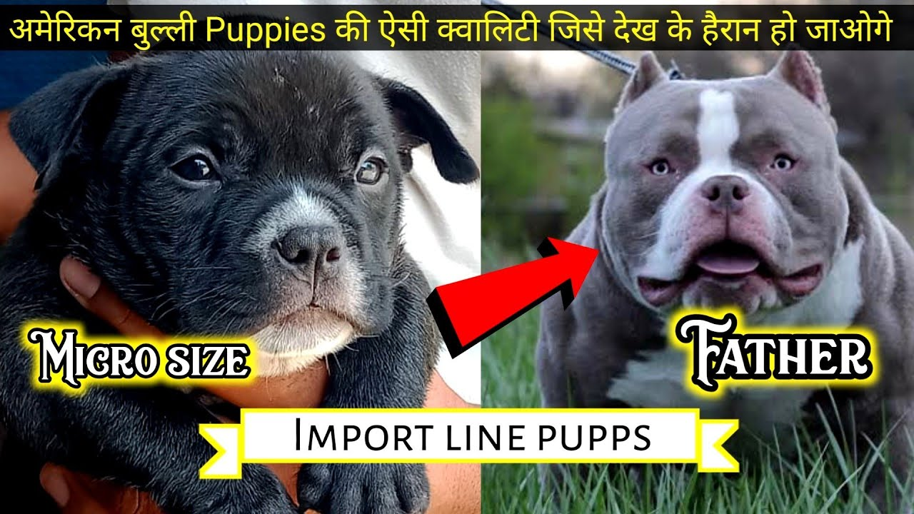 faadu quality | Micro size American bully puppies fir sale | real micro pupps  |American bully facts