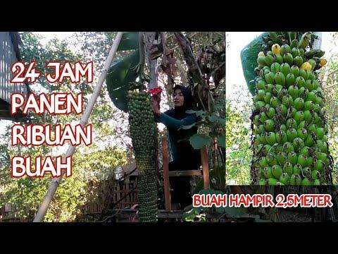 Download PANEN PISANG SERIBUUU