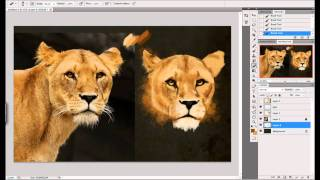 Drawing Female Lion