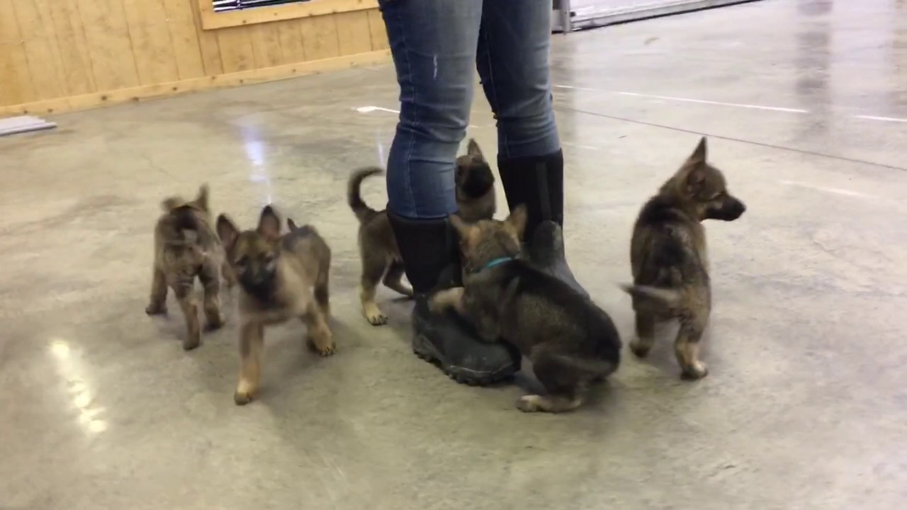 G Litter German Shepherd Puppies At 6 Weeks Of Age Sable For Sale W