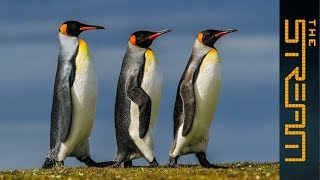 Why are king penguins being decimated? | The Stream