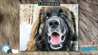 Leonberger  Everything Dog Breeds