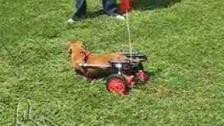 Dachshund Macy With Ivdd In Dog Wheelchair