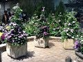 Selecting clematis for planters, pots and containers