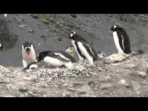 A vida na Antártica - Os pinguins