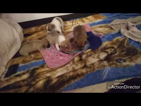 Puppies Eating Cesar Wet Puppy Food