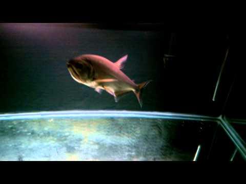 Feeding Time For Armatus - Vampire Tetra - Payara